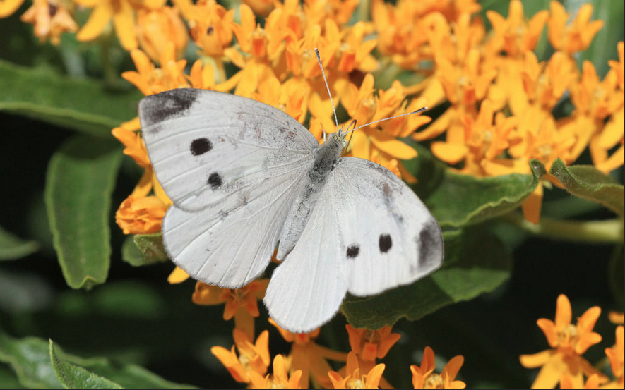 Butterflies Teach Scientists How to Boost Solar Cell Efficiency