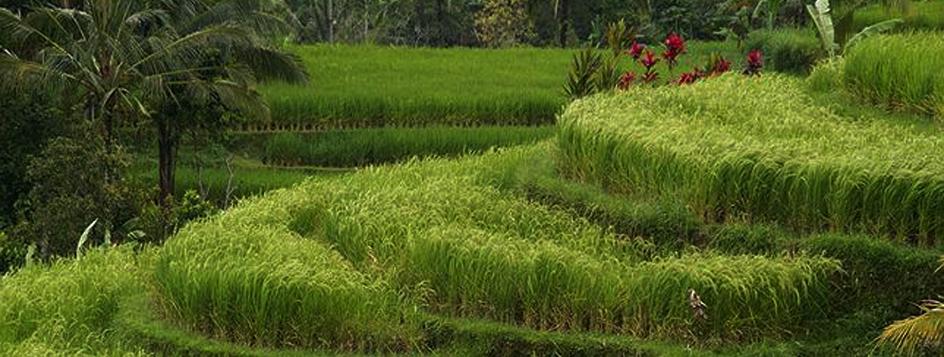 RicefieldBali