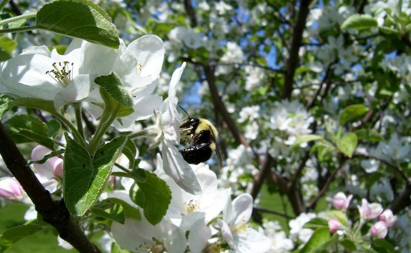 BeeAppleTree