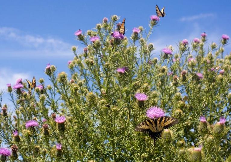 ButterfliesThistles