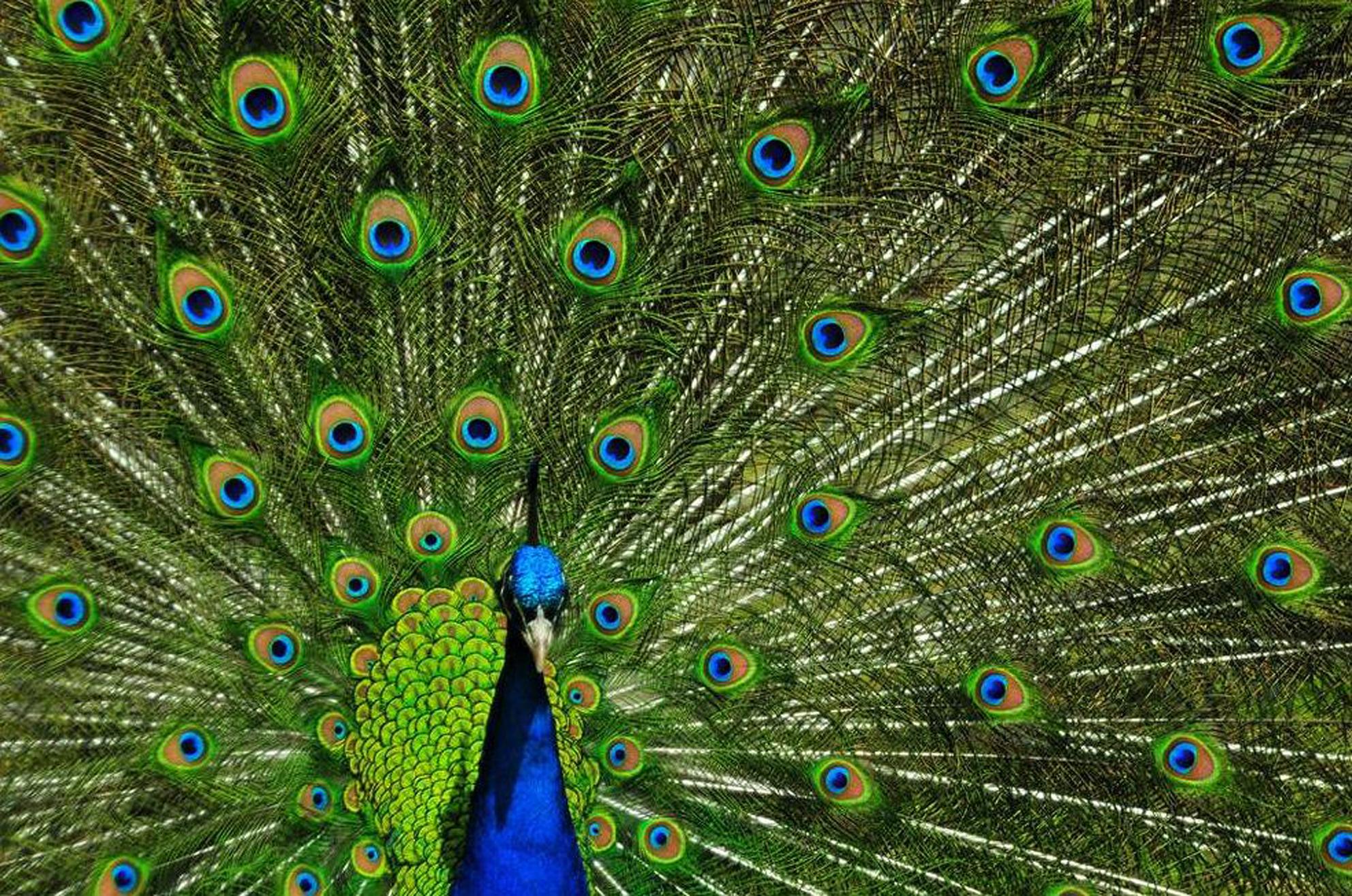 PeacockFanTail
