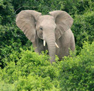 ElephantSibuya
