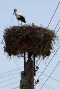 In western Bulgaria, nesting white storks like this one are at risk from power lines. (Photo by aneye4apicture) Creative Commons license via Flickr