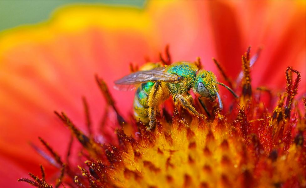 A bee in the Agapostemon group of Western Hemisphere sweat bees, most of which are known as metallic green sweat bees for their color. Lakewood, California, April 13, 2018 (Photo by tdlucas5000) Creative Commons license via Flickr