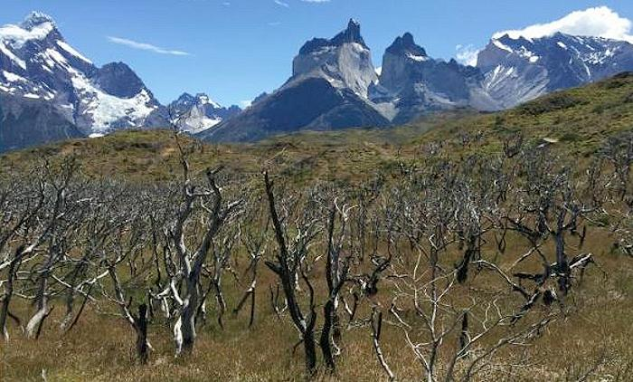A forest of Nothofagus antarctica trees burned in a fire that covered 40,000 acres in Torres del Paine National Park, Chile in 2012. (Photo by Dave McWethy) Posted for media use
