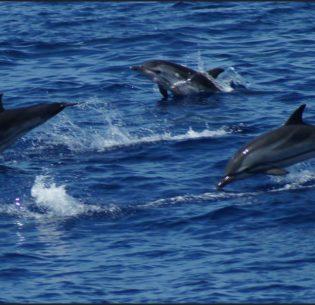 StripedDolphins