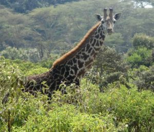 The global population of giraffes is decreasing. Native to East Africa, the Masai giraffe (Giraffa camelopardalis tippelskirchii), also called Kilimanjaro giraffe, is the largest subspecies of giraffe. October 22, 2018, Naivasha Lake, Kenya. (Photo by Linda De Volder) Creative Commons license via Flickr.