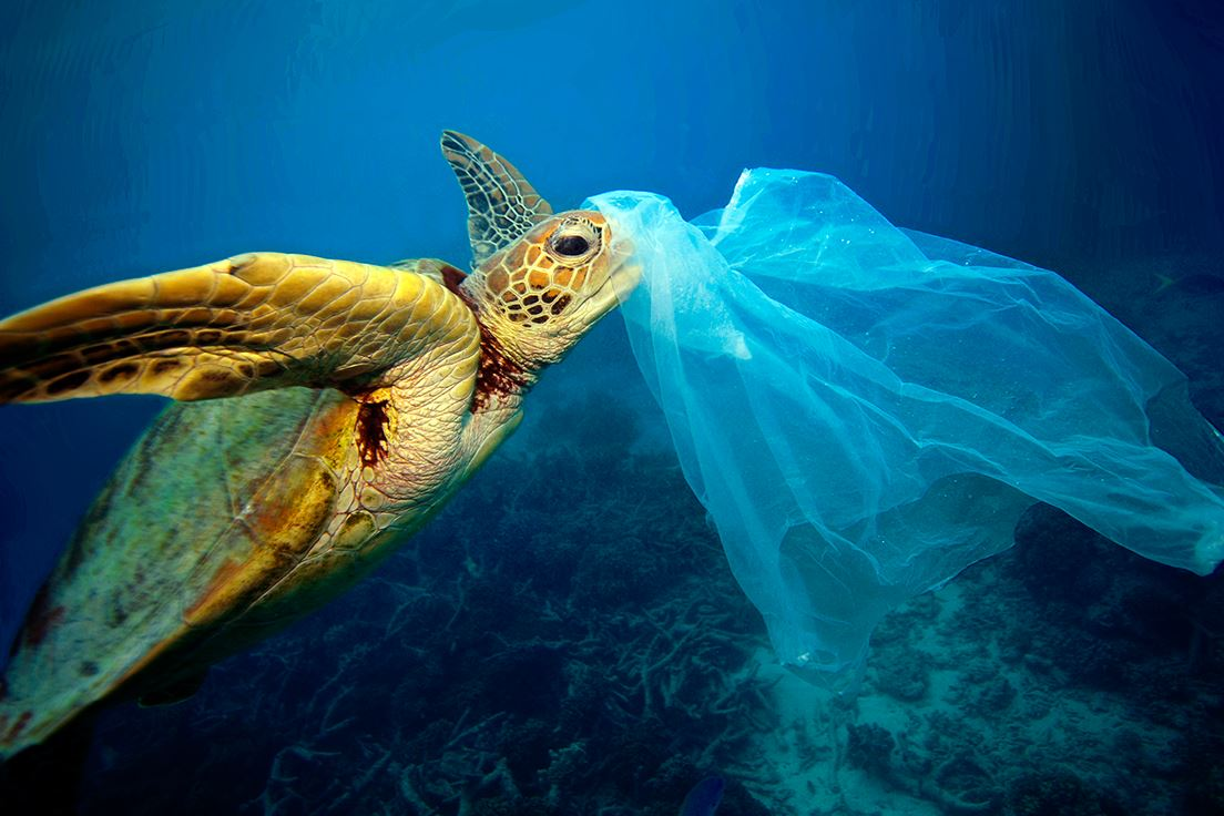 This sea turtle doesn't know that plastic bags could choke it to death. (Photo by Troy Mayne) Posted for media use.