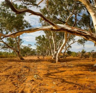 River red gum trees in a dry river bed at Silverton, population 89, New South Wales, Australia, April 19, 2016 (Photo by Nina Matthews Photography) Creative Commons license via Flickr