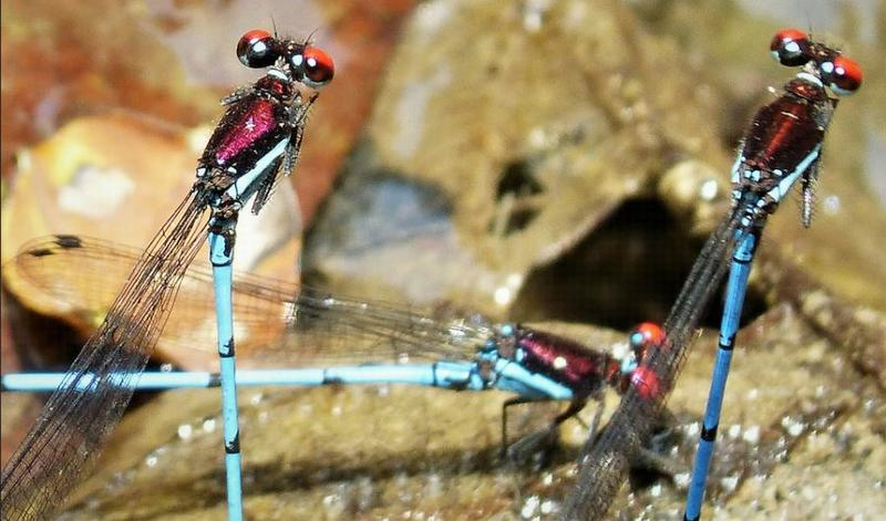 Damselflies mating in San Francisco Reserve, near Torti, Darien Province, Panama, March 12, 2018 (Photo by Gail Hampshire) Creative Commons license via Flickr.