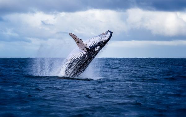 whale-crisis_grande