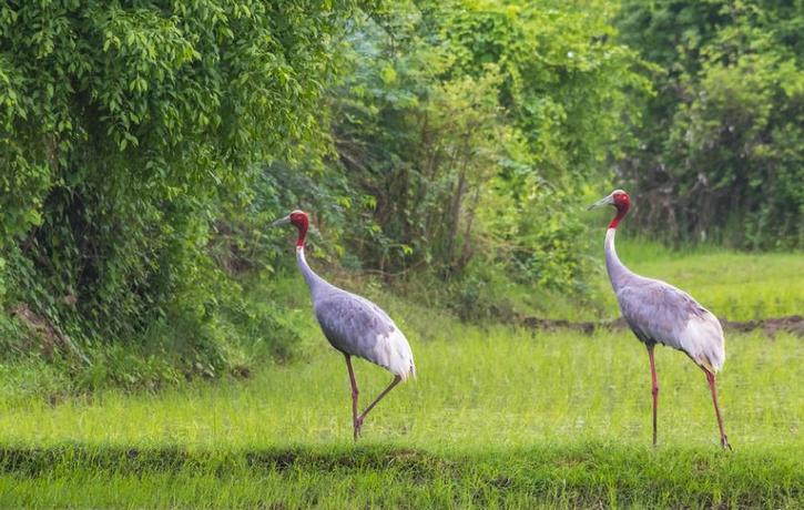 Saurus cranes glide through a forest in the Indian state of Gujarat. July 21, 2018 (Photo by Santanu Sen) Creative Commons license via Flickr