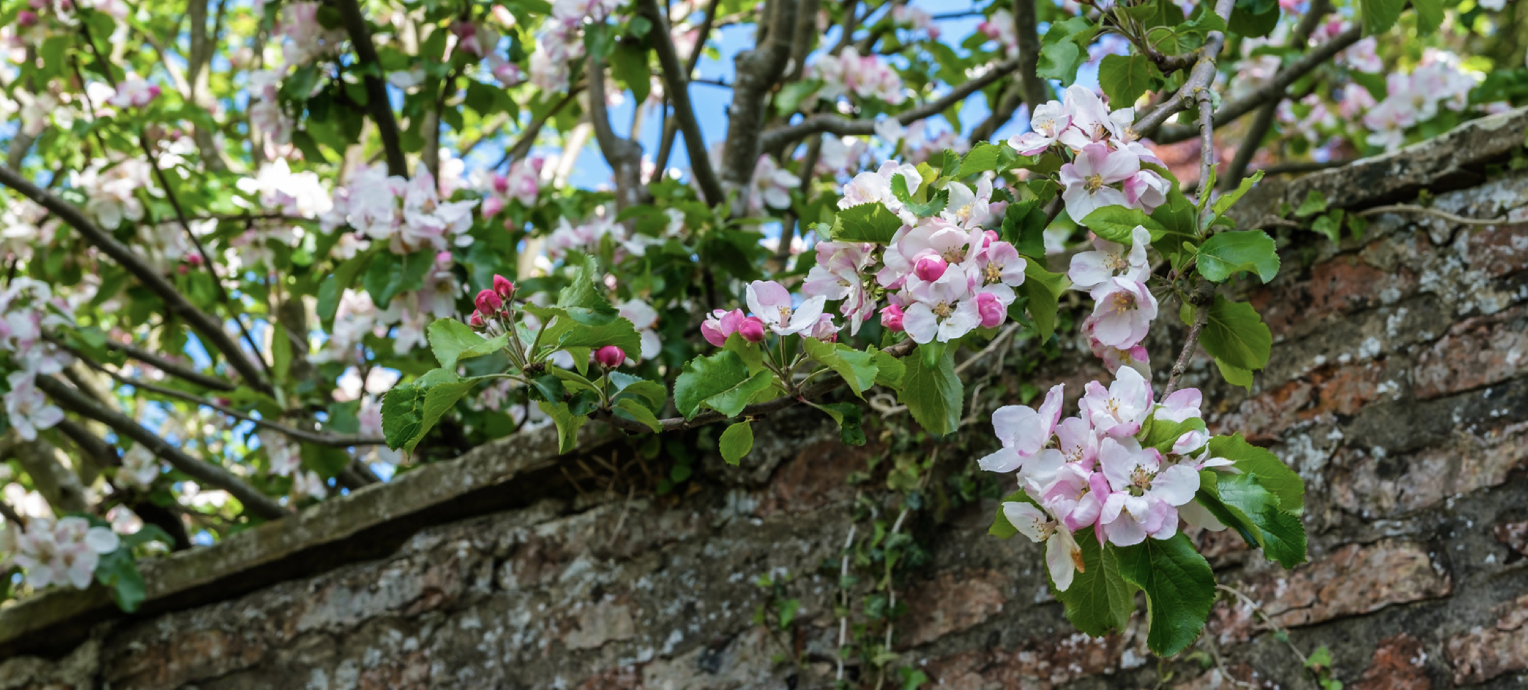 Blossoming apple tree in a walled garden at Sand Hutton Hall, Yorkshire, May 2, 2020 (Photo by Alan Harris) Creative Commons license via Flickr