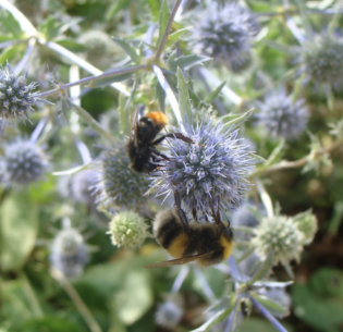 Bumblebees pollinate a garden in London, England, July 16, 2009 (Photo by nikoretro) Creative Commons license via Flickr