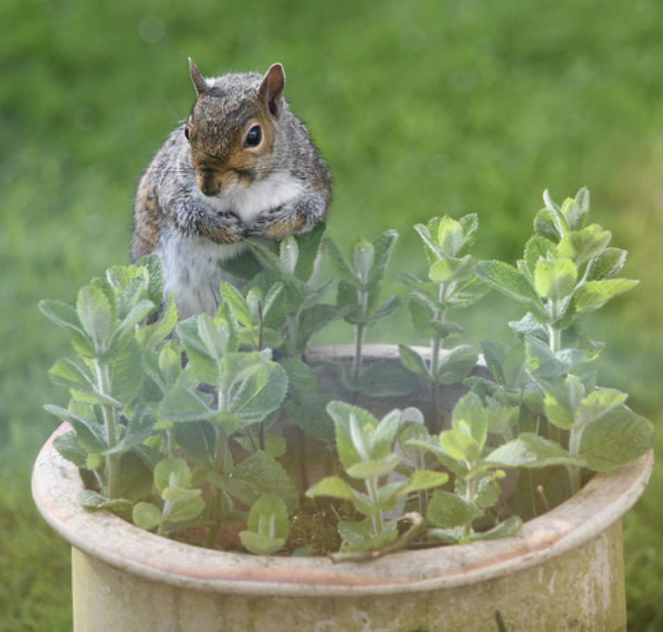 Squirrel tries to decide: is the mint in this garden pot good to eat? East Yorkshire, England, May 10, 2018 (Photo by Katy Wrathall) Creative Commons license via Flickr