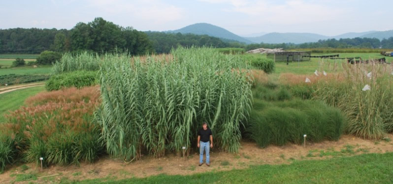 Bioenergy crops at the Mountain Horticultural Crops Research Station in Mills River, North Carolina, Dwayne Tate, Research Specialist (Photo courtesy NC State Extension, North Carolina State University)  Posted for media use